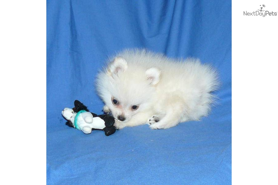 Search Results Teacup Pomeranians For Sale In Missouri ...