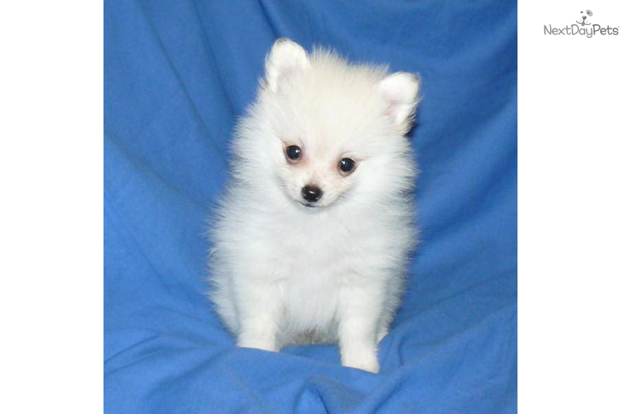 teacup pomeranian for sale in nj search results teacup pomeranians for sale in missouri 8165