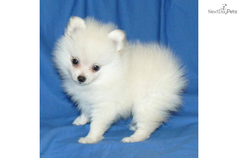 pomeranian breeders in pa pomeranian puppy for sale near springfield missouri 3609
