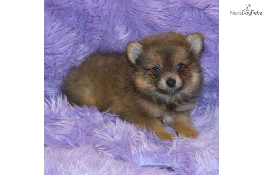 lavender pomeranian puppies for sale pomeranian puppy for sale near springfield missouri 567
