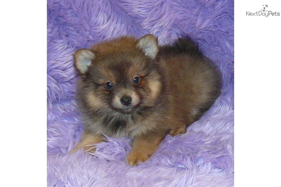 lavender pomeranian puppies for sale pomeranian puppy for sale near springfield missouri 2677
