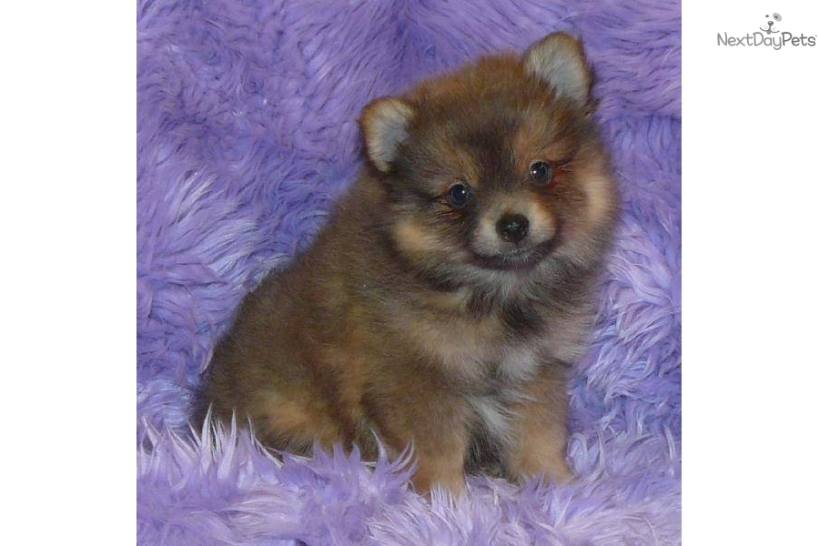 lavender pomeranian puppies for sale pomeranian puppy for sale near springfield missouri 8614