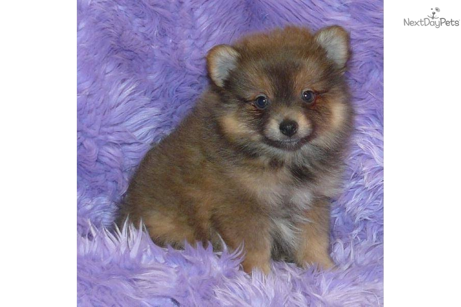 lavender pomeranian puppies for sale pomeranian puppy for sale near springfield missouri 5876