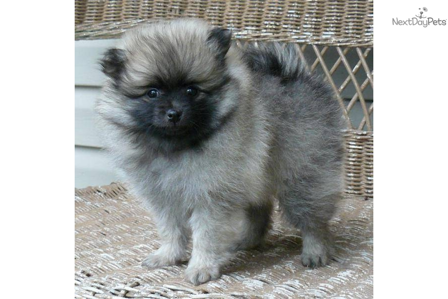 wolf sable pomeranian for sale the gallery for gt wolf sable pomeranian puppies for sale 971
