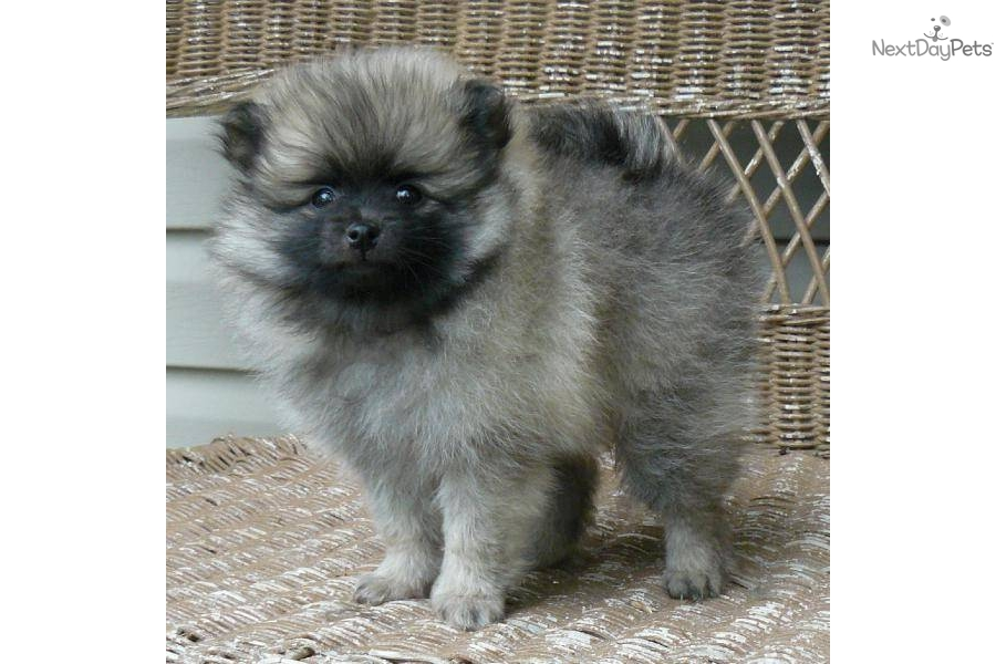 wolf sable pomeranian for sale the gallery for gt wolf sable pomeranian puppies for sale 4030