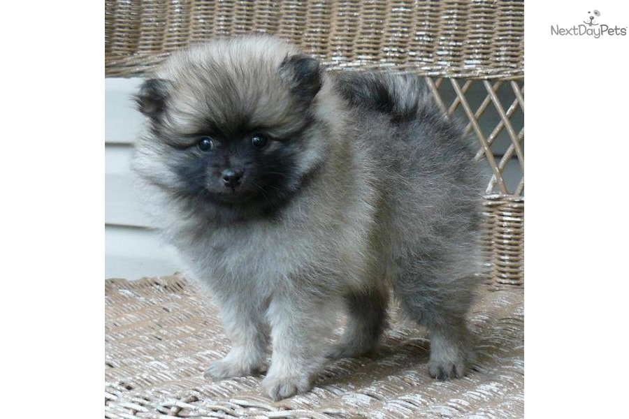 wolf sable pomeranian for sale the gallery for gt wolf sable pomeranian puppies for sale 1411