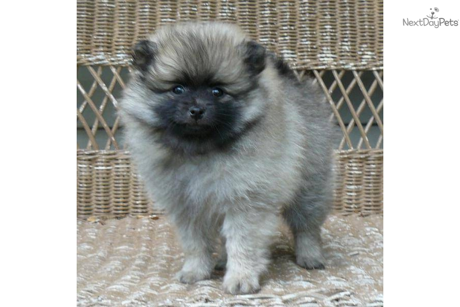 wolf sable pomeranian for sale pomeranian puppy for sale near springfield missouri 3305