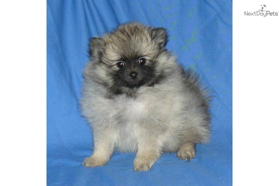 wolf sable pomeranian for sale pomeranian puppy for sale near springfield missouri 5066