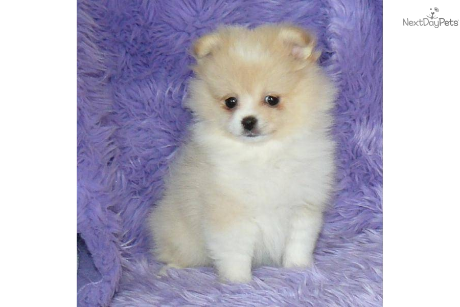 pomeranian puppies for sale in illinois best 28 free puppies in springfield il beasley 513
