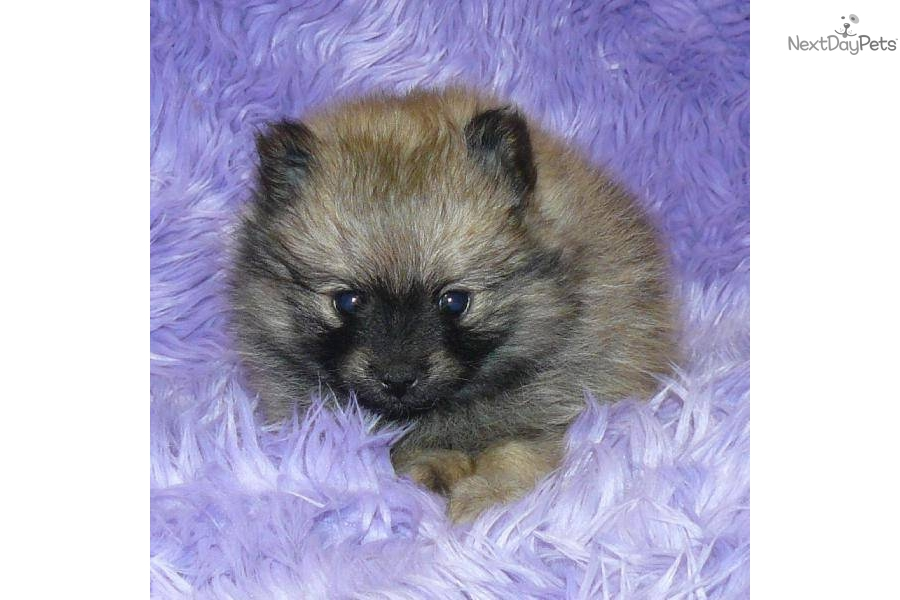 black teddy bear pomeranian-#22