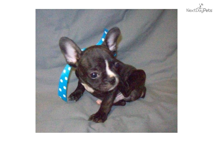 Meet Mickey a cute French Bulldog puppy for sale for ...