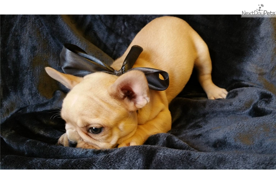 french bulldog st louis thor white male french bulldog for sale in saint louis 6298
