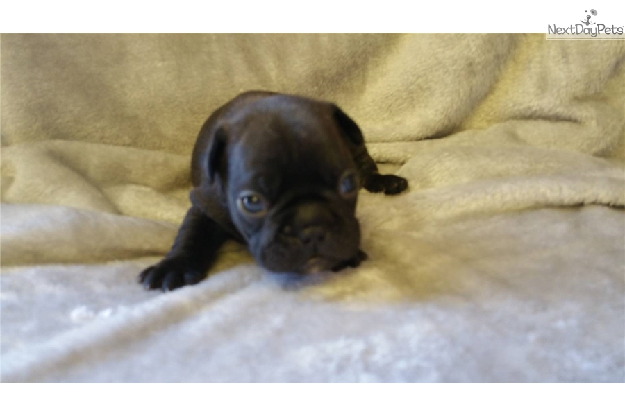 french bulldog st louis french bulldog puppy for sale near st louis missouri 8375