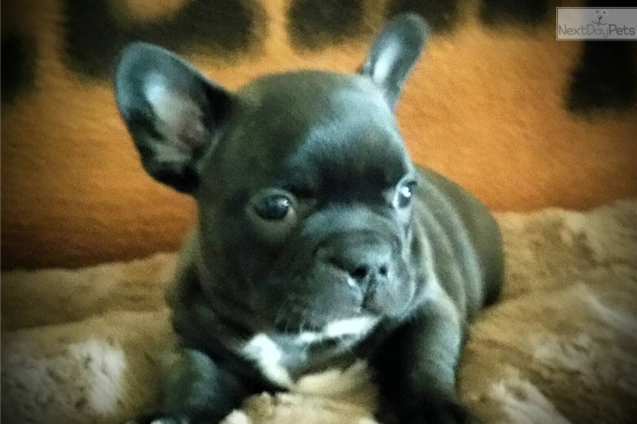 french bulldog st louis french bulldog puppy for sale near st louis missouri 694