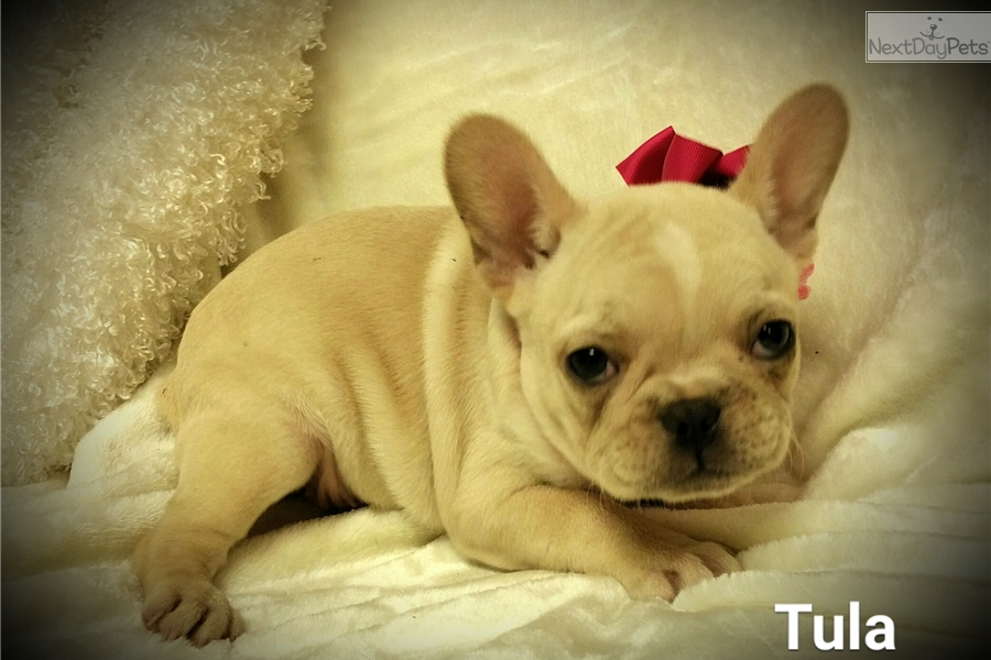 french bulldog st louis toya french bulldog puppy for sale near st louis 5726