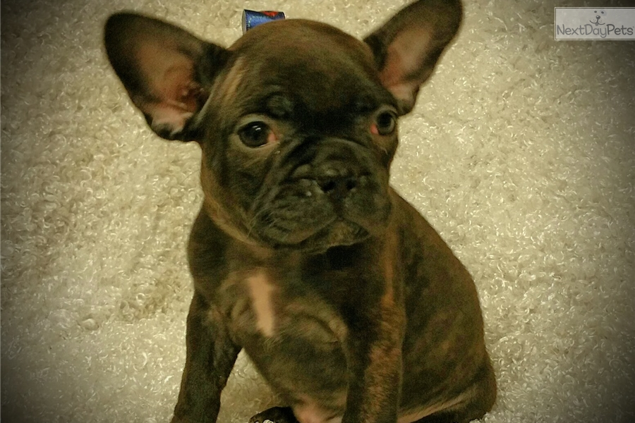 french bulldog st louis french bulldog puppy for sale near st louis missouri 8600