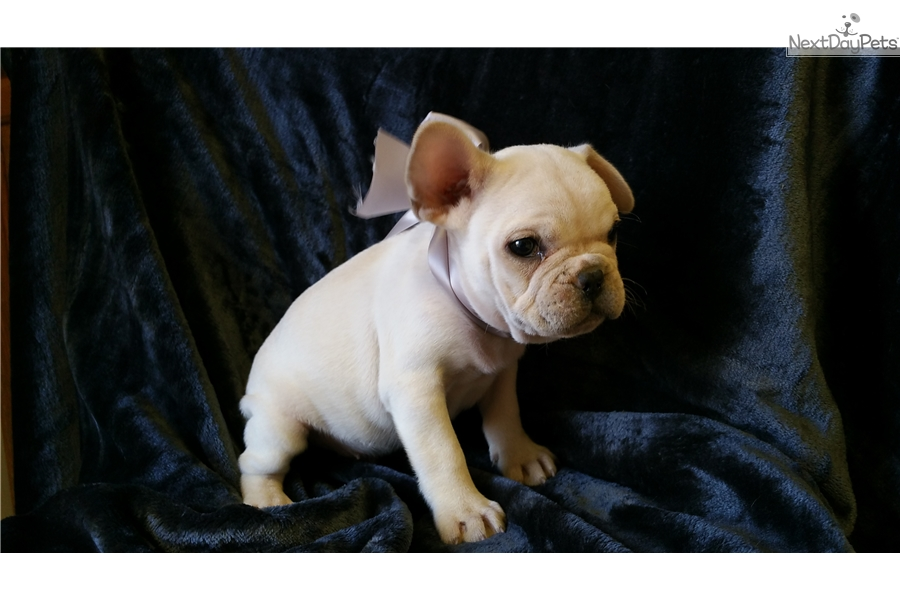 french bulldog st louis french bulldog puppy for sale near st louis missouri 3835