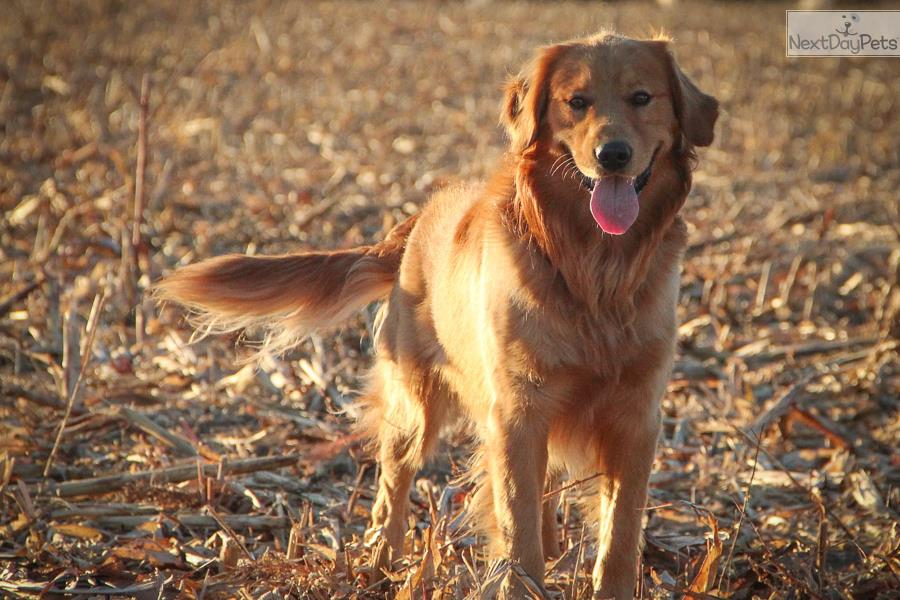 Golden Retriever puppy for sale near Manhattan, Kansas ...