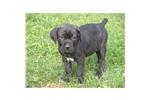 Picture of a Cane Corso Mastiff Puppy