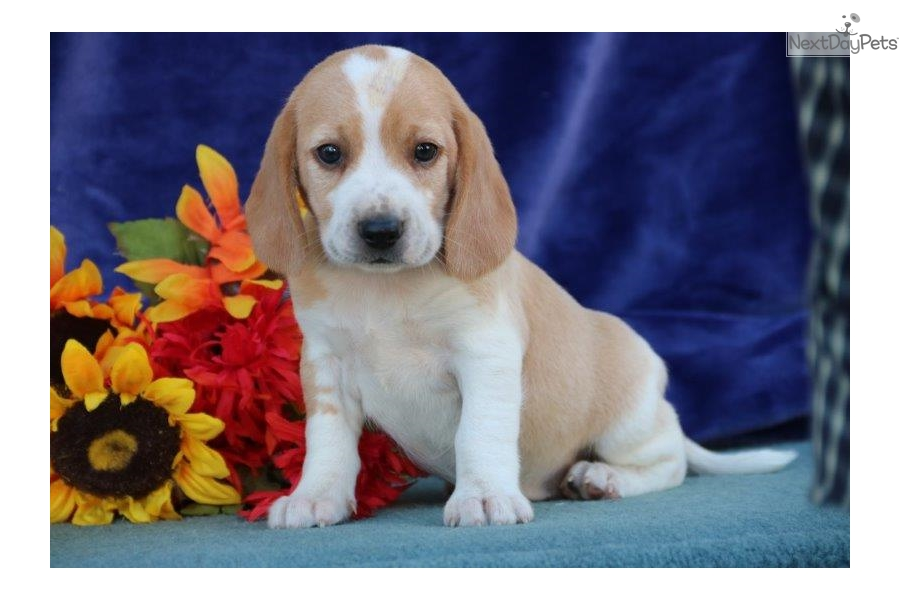 Russell Jm Beagle Puppy For Sale Near Lancaster Pennsylvania