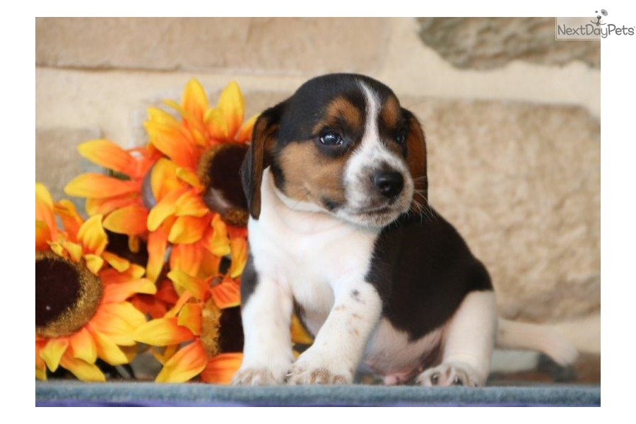 Riley Ls Beagle Puppy For Sale Near Lancaster Pennsylvania