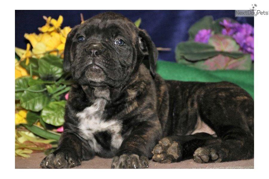 Bambi Bs: Cane Corso Mastiff puppy for sale near Lancaster