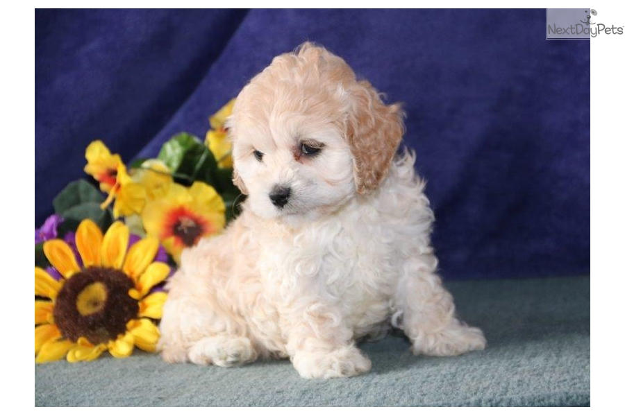 By Photo Congress || Puppies For Sale Near Me Cockapoo