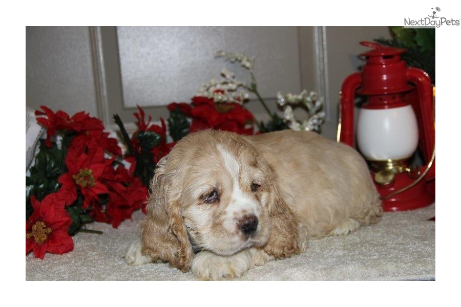 cocker spaniel for sale near me sam me cocker spaniel puppy for sale near lancaster 736