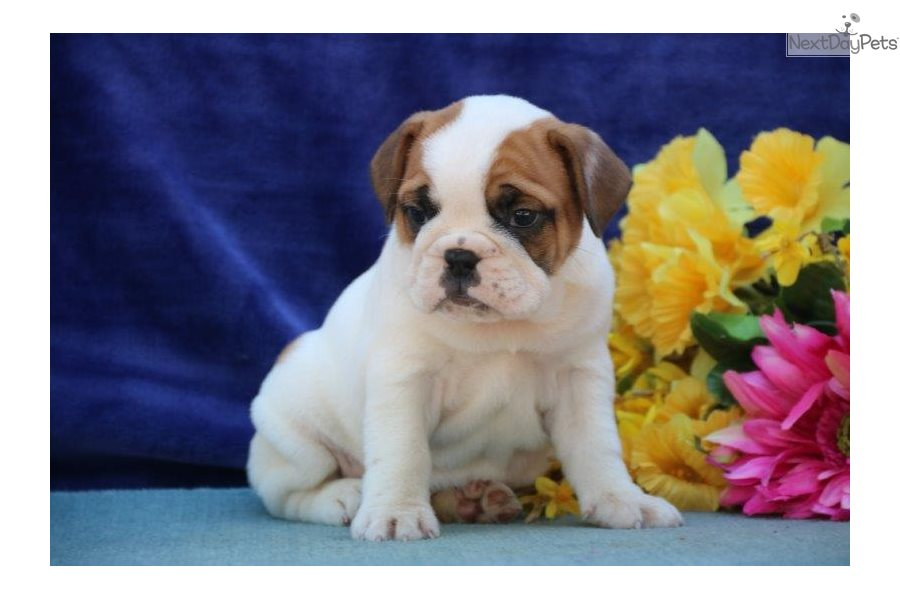 English Bulldog puppy for sale near Harrisburg, Pennsylvania