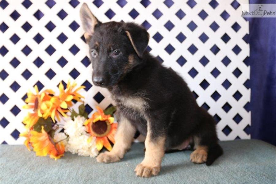Madrid Nh German Shepherd Puppy For Sale Near Lancaster