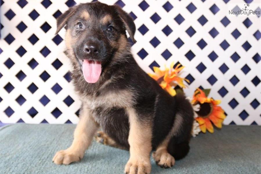 Paris Nh German Shepherd Puppy For Sale Near Lancaster