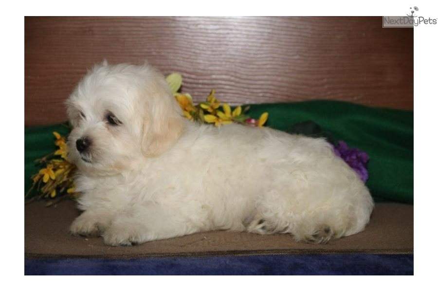 Havapoo Puppies for Sale from Reputable Dog Breeders