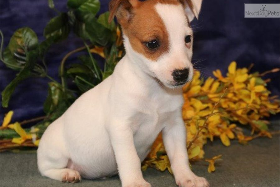 Davy Sm Jack Russell Terrier Puppy For Sale Near Harrisburg