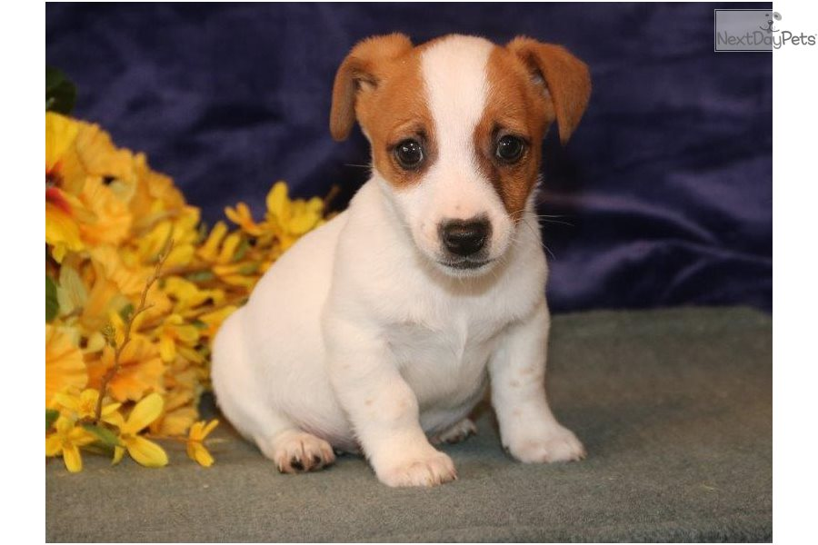Timmy Sm Jack Russell Terrier Puppy For Sale Near