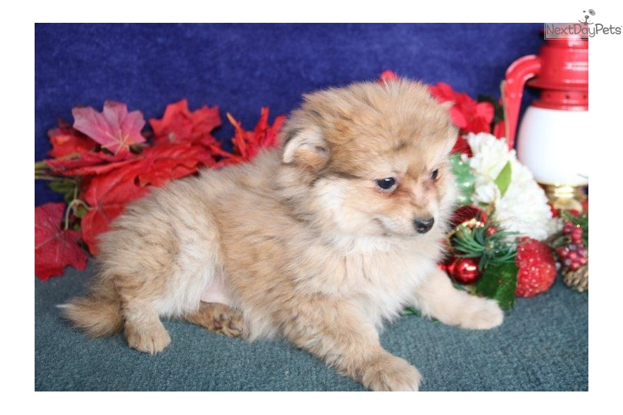 Diago Wh: Pomchi puppy for sale near Lancaster, Pennsylvania