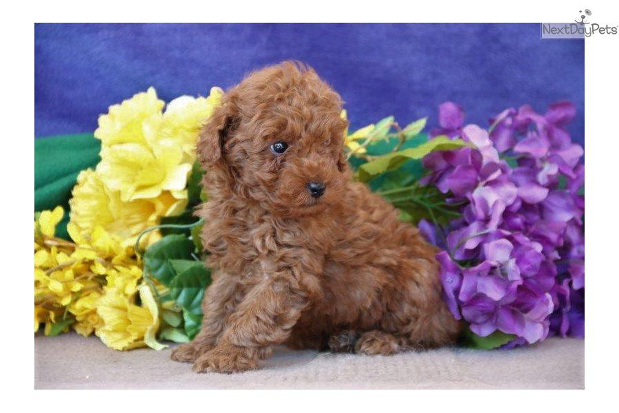 Phoenix Jf: Poodle, Toy puppy for sale near Lancaster