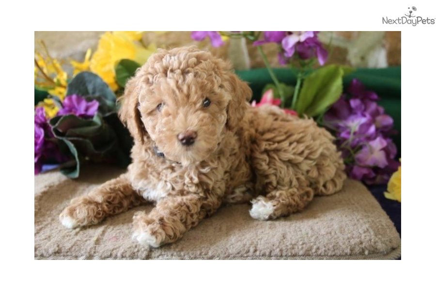 Poodle, Toy puppy for sale near Lancaster, Pennsylvania