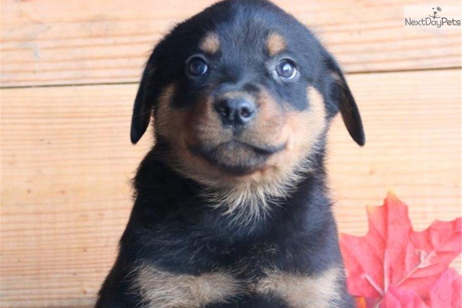 Baby Hl Rottweiler Puppy For Sale Near Lancaster Pennsylvania