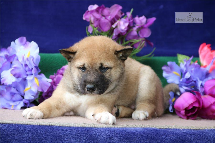 Kenya Ch: Shiba Inu puppy for sale near Lancaster ...
