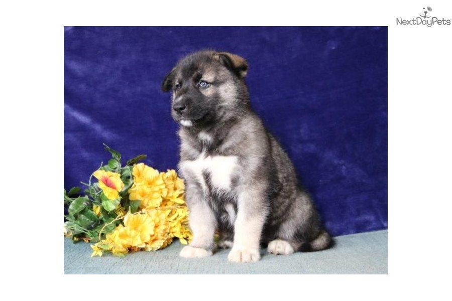 Matthew Ee Siberian Husky Puppy For Sale Near Harrisburg