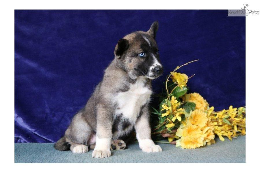 Marissa Ee Siberian Husky Puppy For Sale Near Harrisburg