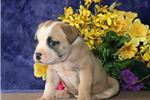 Picture of Molly JS Stately Healthy NKC American Bulldog