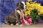 Picture of Susan JS Stately Healthy NKC American Bulldog