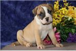 Picture of Danny JS  Stately Healthy NKC American Bulldog