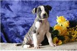 Picture of Hannah  JS Happy and Playful NKC Reg. Am. Bulldog