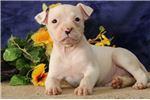 Picture of Blanca JS Happy and Playful NKC Reg. Am. Bulldog
