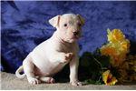 Picture of Snow Flake JS  Playful NKC Reg. Am. Bulldog