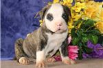 Picture of Mario JS Stately Healthy NKC American Bulldog