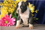 Picture of Julia JS Stately Healthy NKC American Bulldog