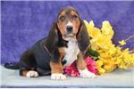 Picture of Chala jz Gentle Healthy Bassett Hound Puppy